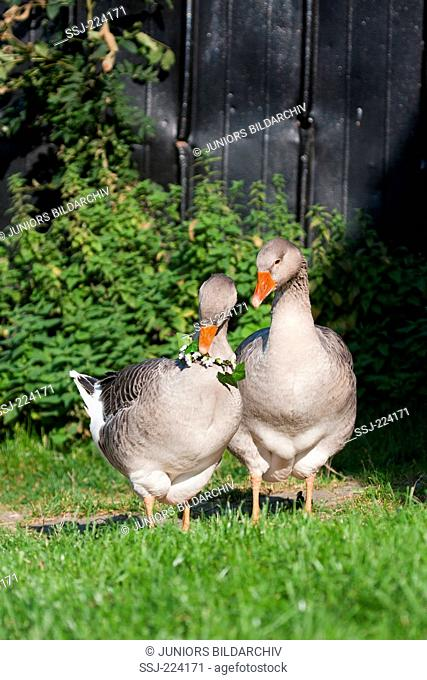 Domestic goose. Couple, female wearing flower wreath, male standing next to her. Germany