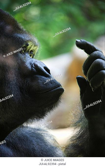 Close up of Gorilla holding up finger, Loro Parque, Tenerife, Canary Islands, Spain