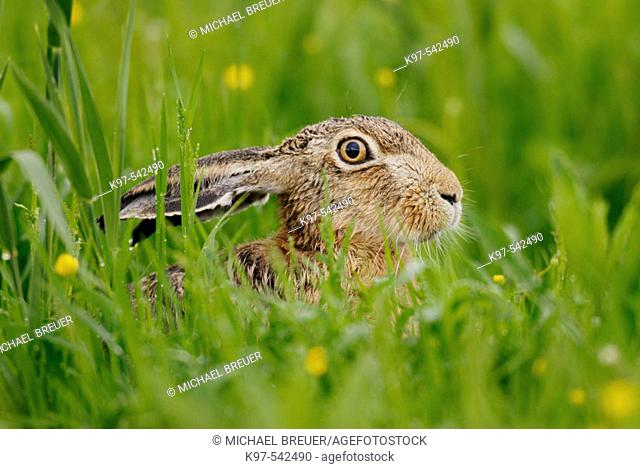 Hare (Lepus europaeus) in May. Germany