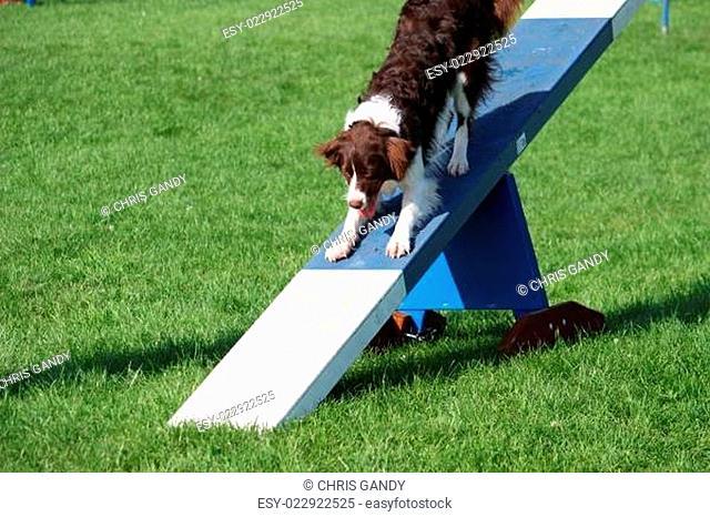 A very cute springer cross collie dog on agility equipment
