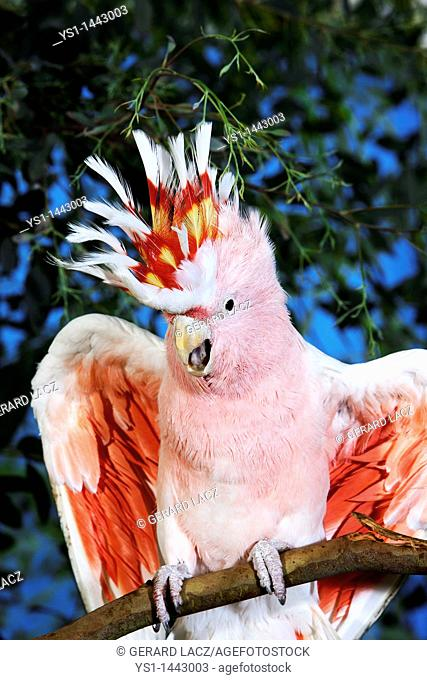 PINK COCKATOO OR MAJOR MITCHELL'S COCKATOO cacatua leadbeateri, ADULT WITH OPEN WINGS