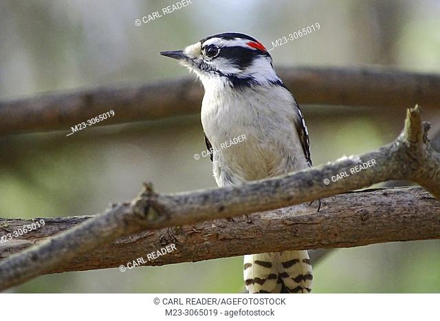 A male downy woodpecker, Picoides pubescens, Pennsylvania, USA
