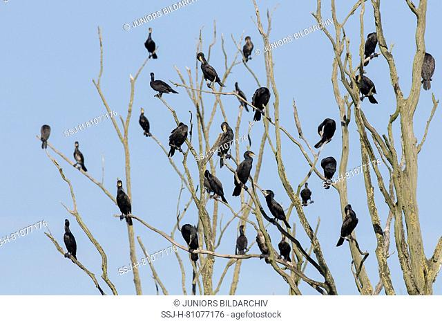 Cormorant (Phalacrocorax carbo). Birds resting on dead tree. Nature reserve Anklamer Stadtbruch, Mecklenburg-West Pomerania, Germany