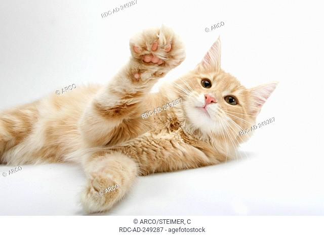 Norwegian Forest Cat lifting paw
