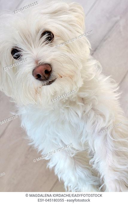 White puppy maltese dog inside