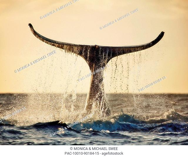 Hawaii, Maui, Humpback whale fluking its tail in golden sunset