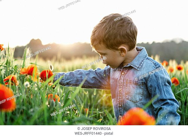 Boy in a poppy field in spring