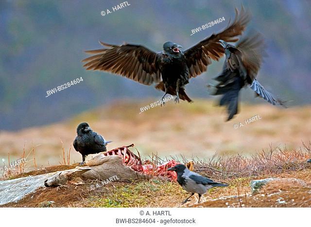 common raven (Corvus corax), fighting at a dead deer, Norway