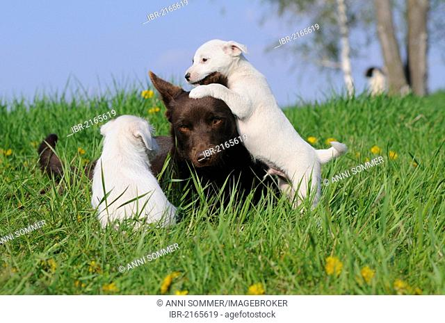 Australian Kelpie, chocolate coloured, with Parson Russell Terrier puppies in a meadow