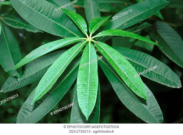Alstonia Scholaris. Family: Apocyanaceae. The Devil's tree. An elegant evergreen tree with whorled foliage and branches. According to folklore this tree is...