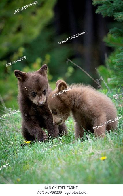 Ursus americanus, black bear, rocky mountains, Alberta, Canada, cub, young