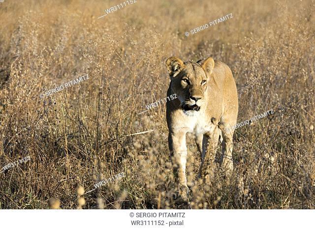 Lion (Panthera leo), Savuti, Chobe National Park, Botswana, Africa