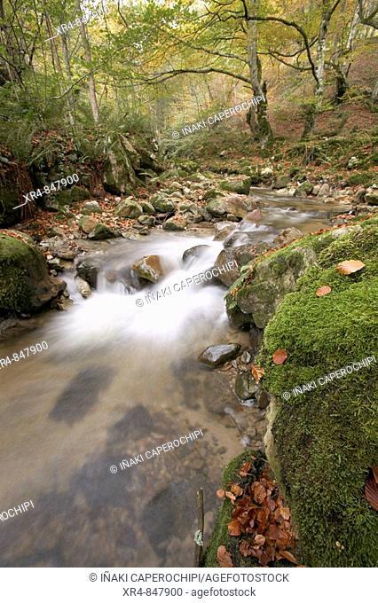 Beechwood in autumn, Valgrande, Valgrande Pajares, Asturias, Spain