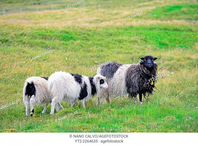 Faroese sheep, domestic sheep native to the Faroe Islands
