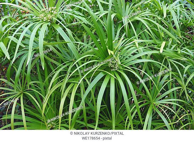 Umbrella plant (Cyperus alternifolius). Called Umbrella palm, Umbrella papyrus and Umbrella sedge also. Another scientific name is Cyperus involucratus