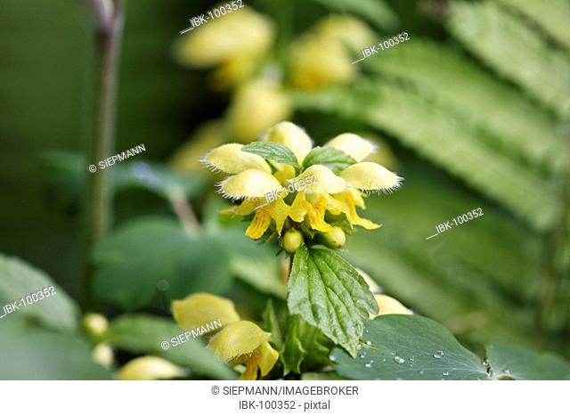 Golden dead nettle , Yellow archangel ( Lamium galeobdolon , Syn.:Galeobdolon luteum )