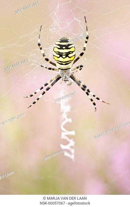 Female Wasp Spider (Argiope bruennichi) waiting in her web, The Netherlands, Gelderland, Speulderveld