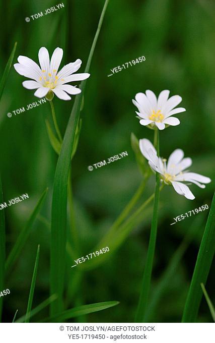 Greater Stitchwort Stellaria holostea in flower, England, UK