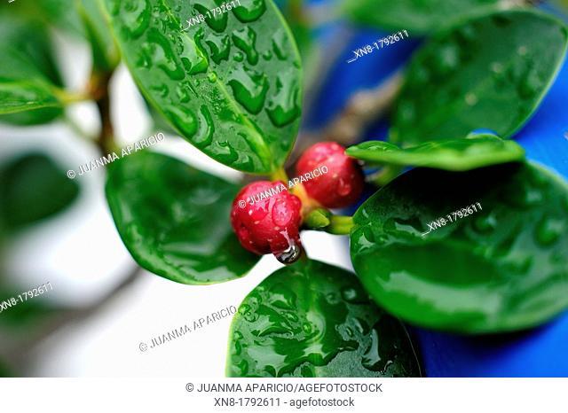 Ficus Panda Bonsai, detail of fruit