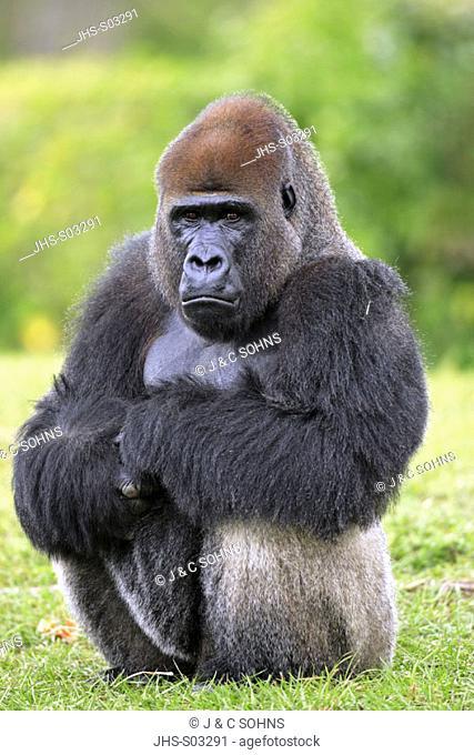 Lowland Gorilla, Gorilla g. gorilla, Africa, adult male