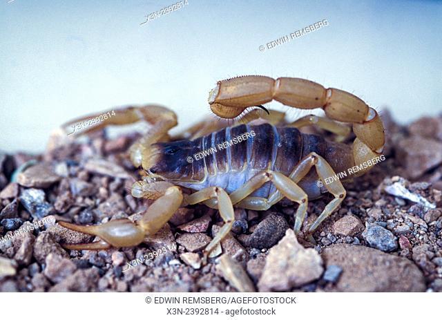Detail of Scorpion (Arachnida)