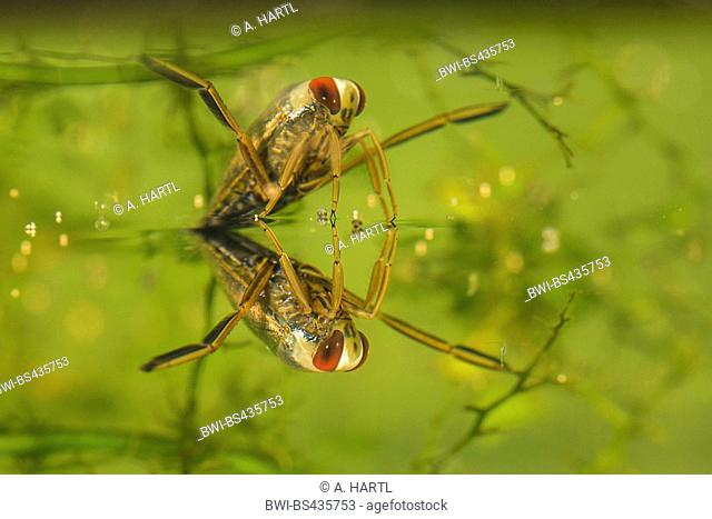 backswimmer, water boatman (Notonectidae), at watersurface with reflexion, Germany