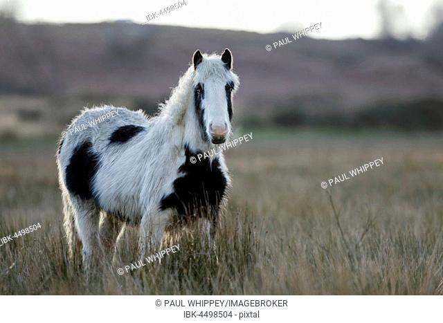 Pony (Equus ferus caballus), Pinto in grass, South Wales, United Kingdom