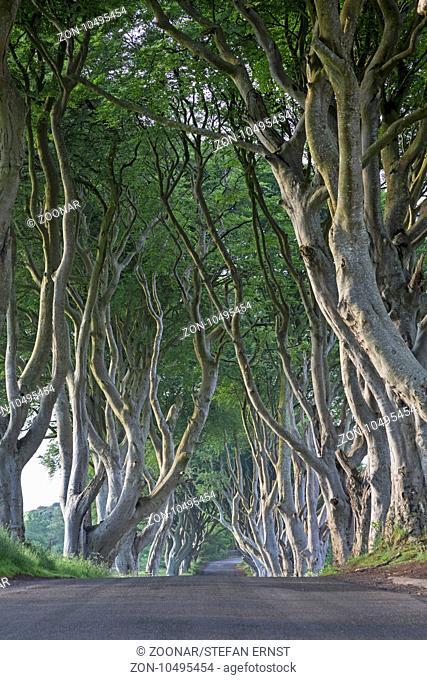 Beech tree avenue, The Dark Hedges, Ballymoney, County Antrim, Northern Ireland, United Kingdom, Eur