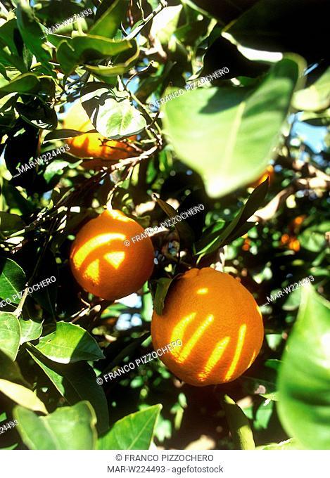 orangegrove