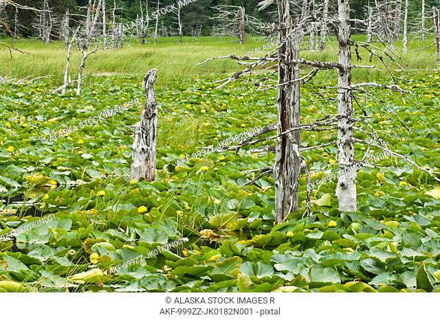 Dead spruce trees stand amidst a patch of water lillies along Turnagain Arm, Chugach National Forest, Summer