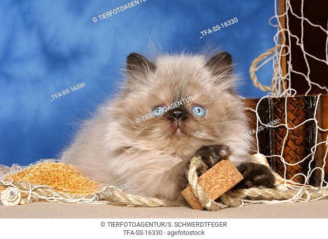 lying persian kitten colourpoint