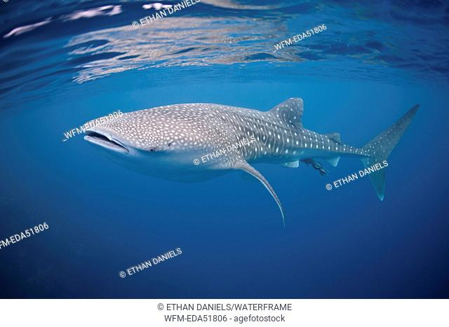 Whale Shark, Rhincodon typus, Silver Bank, Atlantic Ocean, Dominican Republic