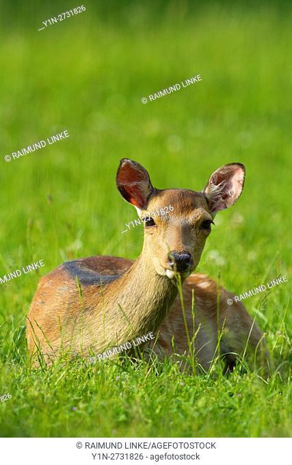 Sika Deer, Cervus nippon, lying in meadow