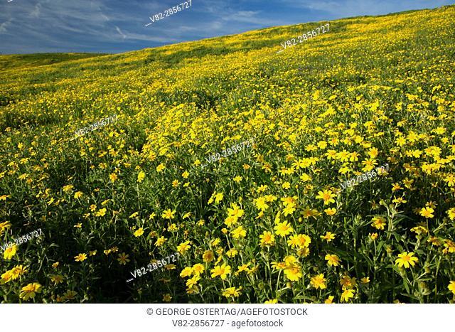 Coreopsis, Carrizo Plain National Monument, California