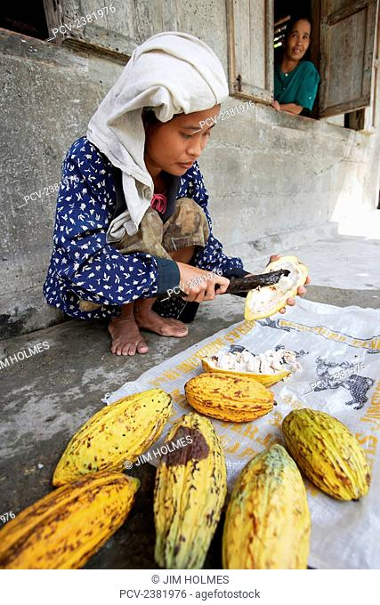 Growing cocoa is one of the major agricultural activities of Nias Island; North Sumatra Province, Indonesia