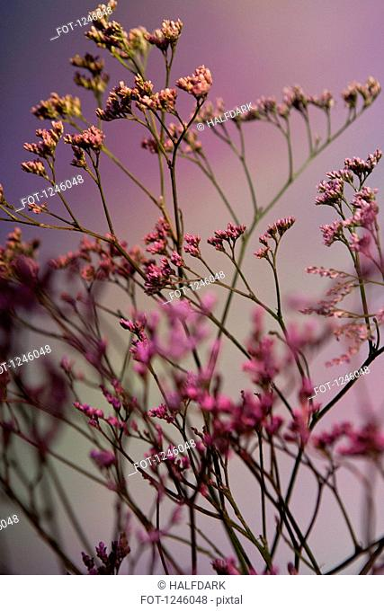 A bunch of pink Statice (Limonium) against a pastel background