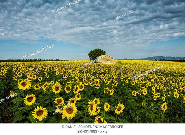 Blooming sunflower field (Helianthus), Plateau of Valensole, near Valensole, Provence-Alpes-Côte d'Azur, France