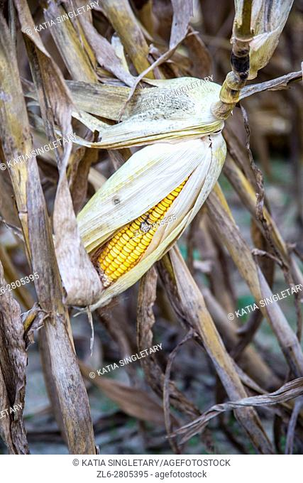 Close up of a Yellow rotten corn in a corn field in a corn maze
