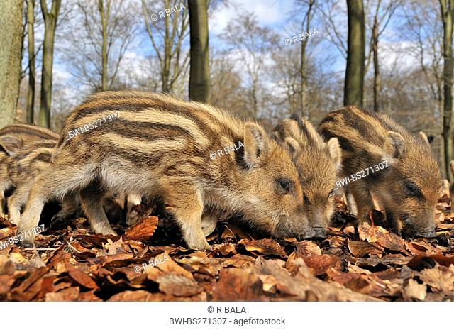 wild boar, pig, wild boar Sus scrofa, curious runts in a forest, Germany