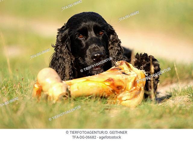English Cocker Spaniel with bone