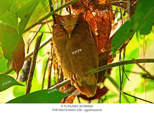 Serendib Scops-owl Otus thilohoffmanni adult, perched at daytime roost, Kitulgala, Sri Lanka, december