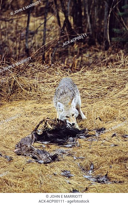 Coyote Canis latransscavenging a road-killed moose carcass, Canada