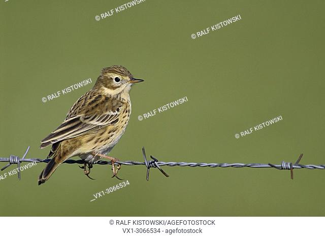 Meadow Pipit ( Anthus pratensis ) sits on barbwire in front of a clean green open habitat background, wildlife, Europe.