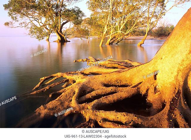 Grey mangrove stabilizing shoreline in tidal wetland, Moreton Bay Marine Park and Ramsar wetland, southeastern Queensland, Australia