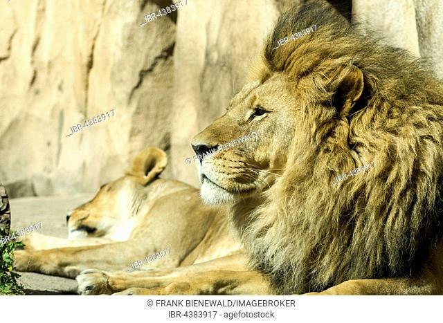 Male African lion (Panthera leo) is lying on the ground, captive, Dresden, Saxony, Germany