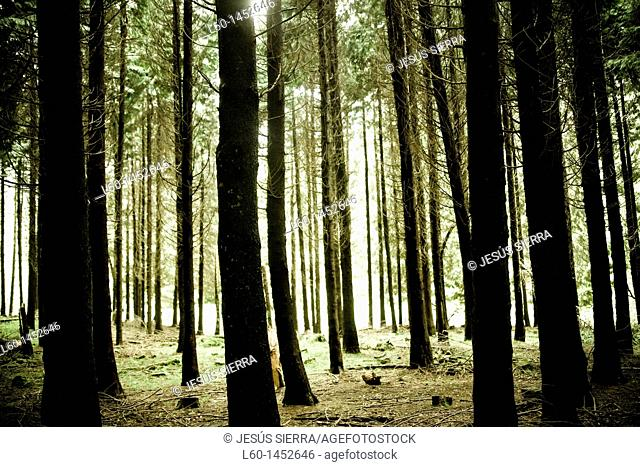 Trees in Irati forest  Navarra, Spain