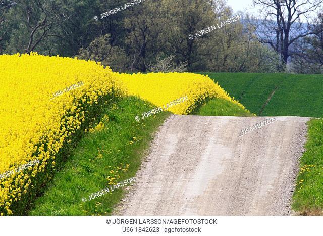 Rapeseed Road Skane Sweden