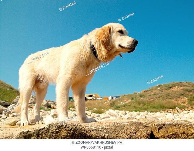 Golden retriever on the coast