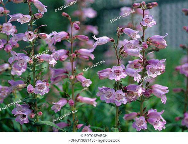 Close up of a lilac penstemon