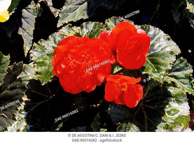 Tuberous Begonia (Begonia x tuberhybrida), Begoniaceae